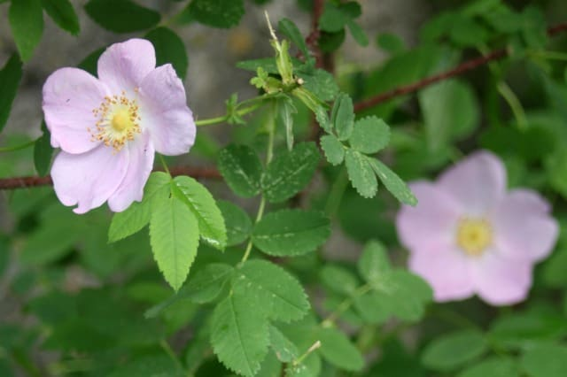 10 ways to use wild rose petals includes information for maximizing the beautiful blooms for food, medicine, and personal care products.