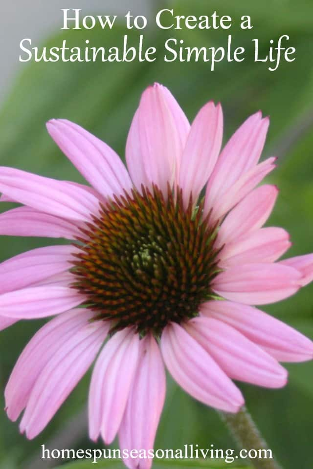 Purple coneflower picture.