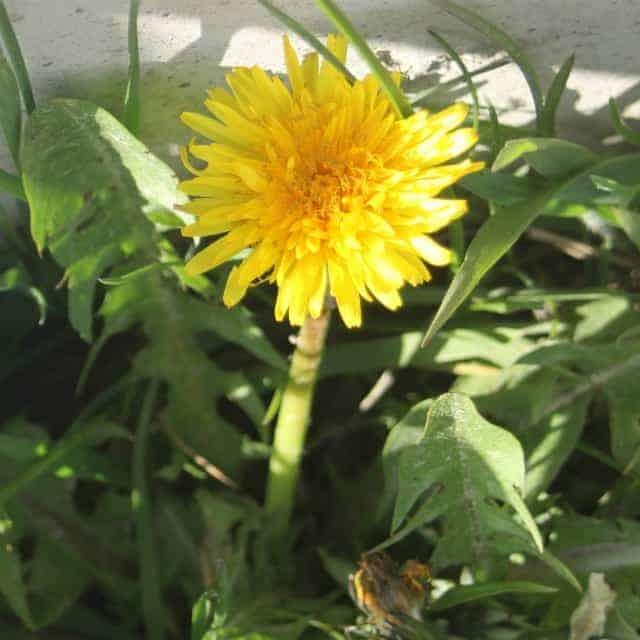 Using Dandelions for Gift Giving