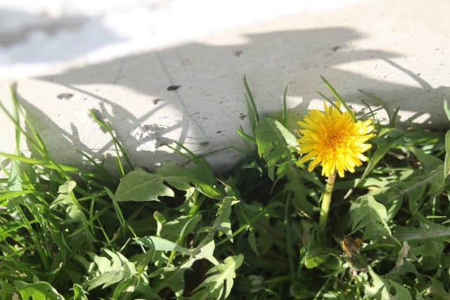 Single dandelion blossom in grass next to a wall.