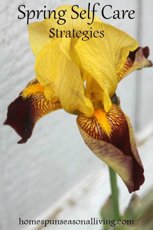 Yellow bearded iris in bloom.