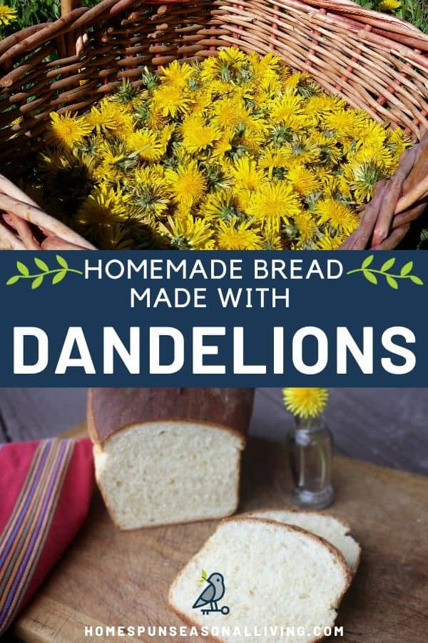An photo of a basket of dandelions stacked on to a blue box of text in white letters stating: homemade bread made with dandelions, stacked on top of an image of slices of bread on a board with the remaining loaf and a vase of yellow dandelion flowers in the background.