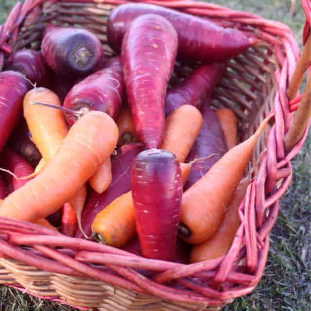 Basket of multi-colored carrots.