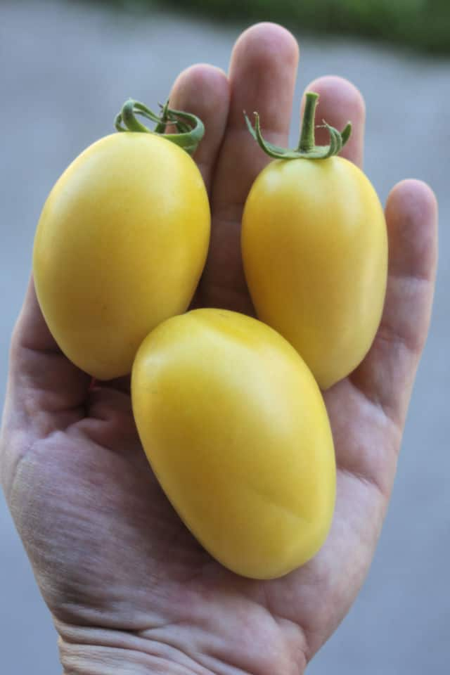 3 yellow tomatoes in the palm of a hand.