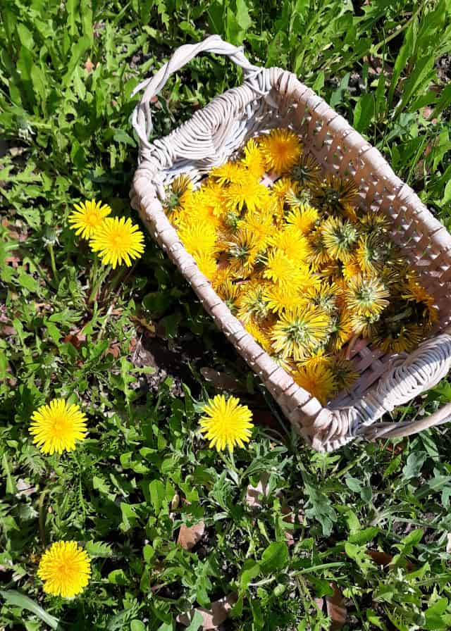 A basket of dandelion flowers sitting on the ground next to blooming dandelions in grass.
