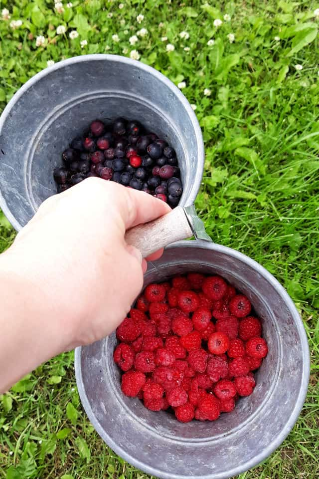 A bucket of freshly harvested wild and homegrown berries to be used in mixed berry pie.
