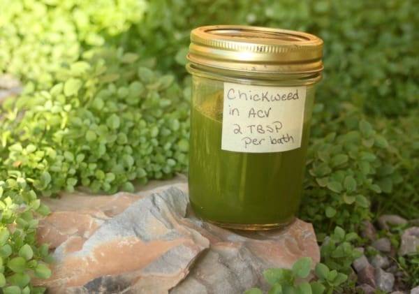 A jar of chickweed bath vinegar sitting on a rock in a patch of wild chickweed.