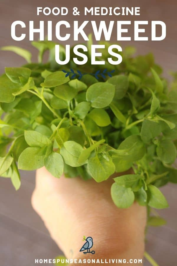 A hand holding a bunch of fresh chickweed with text overlay.
