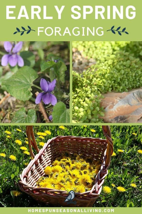 A collage of 3 photos showing a wild violet, growing chickweed, and a basket of dandelions with text overlay.