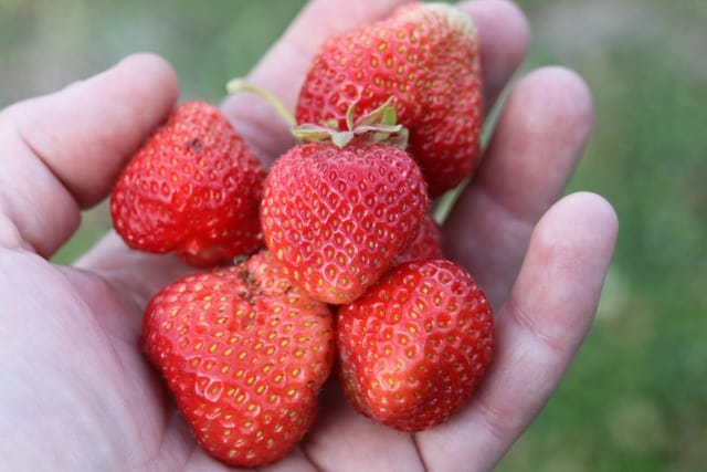 A handful of fresh strawberries.