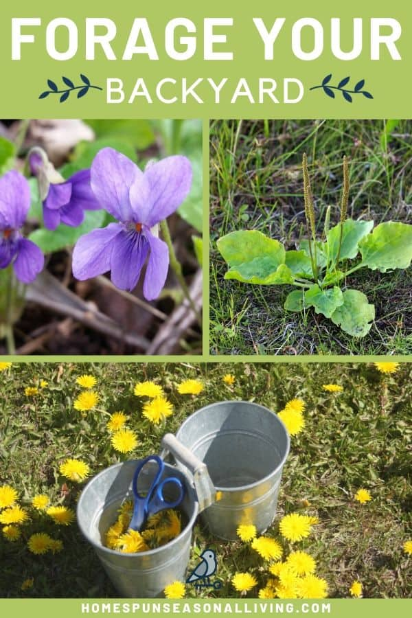 A collage of photos including a purple violet, plantain herb, and dandelions with a bucket and text overlay.