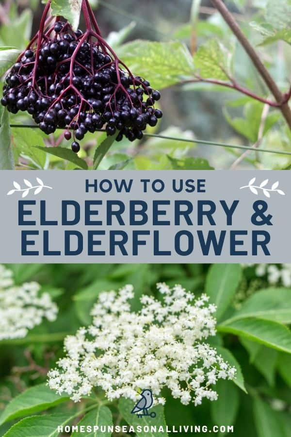 A picture of ripe elderberries hanging from the shrub, stacked on top of text overlay stating: how to use elderberry & elderflower, stacked on top of a photo of elderflowers in bloom on leafy branches.