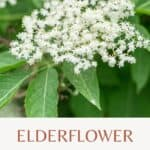 Blooming elderflower with leaves and test overlay stating Elderflower: Herbal remedy and tasty food.