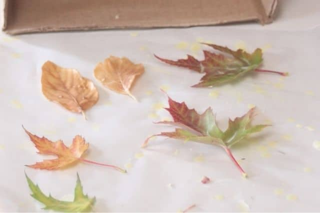 Multicolored fall tree leaves that have been dipped in beeswax, cooling and drying on wax paper.