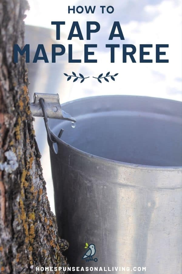 A tree with spile dripping sap into a metal bucket with text overlay stating: how to tap a maple tree.