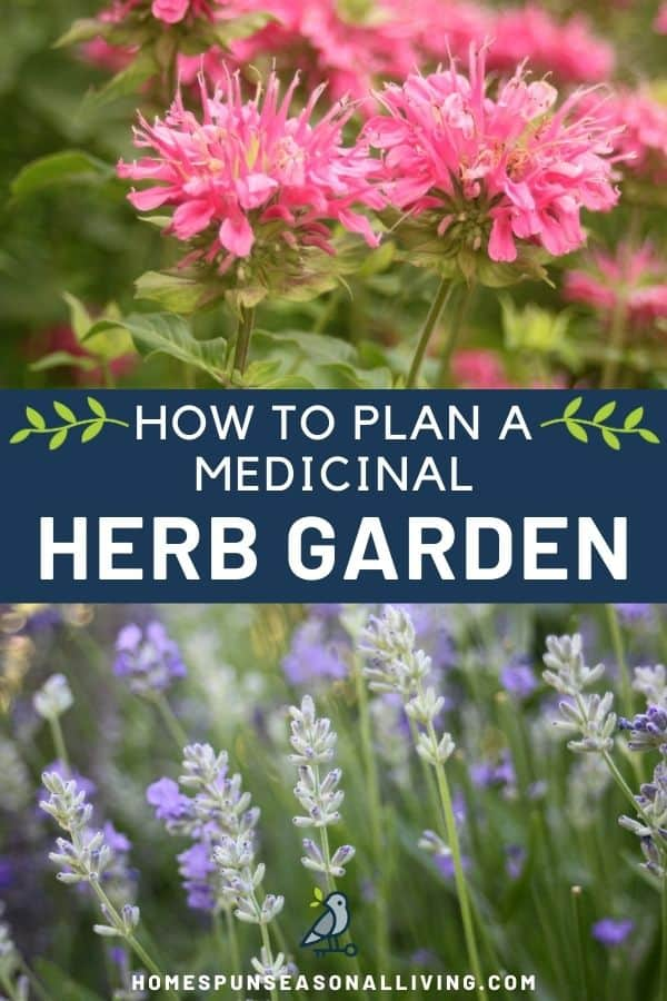 A photo of pink bee balm flowers in the garden sitting on top of a blue text block stating 'how to plan a medicinal herb garden' sitting on top of an image of lavender buds and flowers in the garden.