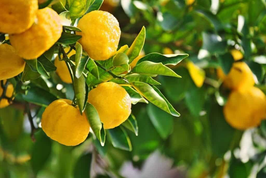 Lemons growing on a tree surrounded by fresh leaves.