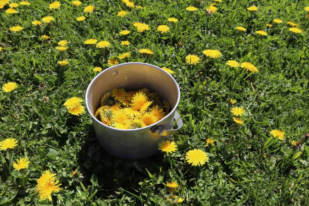 A metal bucket half full of dandelion flowers sitting in the grass surrounded by more dandelions growing.