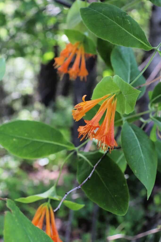 Orange honeysuckle blossoms in bloom on vines full of leaves in the forest.