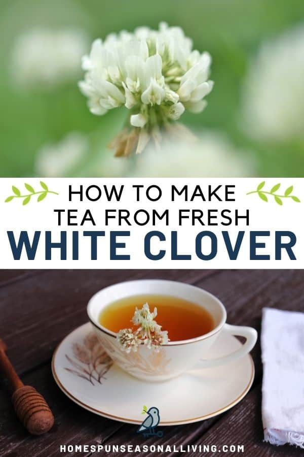 A close-up image of a white clover flower, stacked on top of a text overlay box reading: how to make tea from fresh white clover, stacked on top of an image of A teacup full of tea sitting on a saucer, a honey dipper to the left, a white napkin to the right.