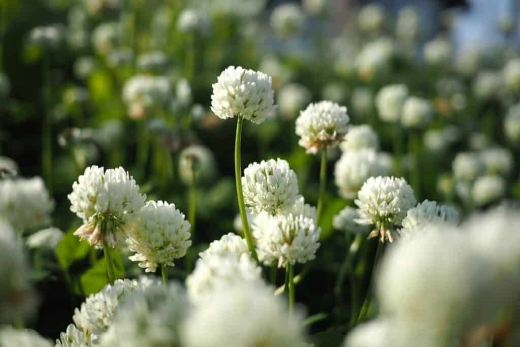 White clover flowers in a field.