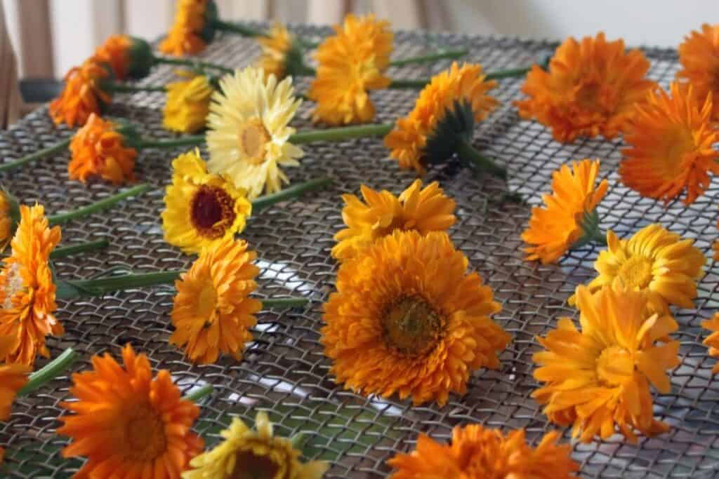 Yellow and orange calendula flowers spread out on a wire rack to dry.