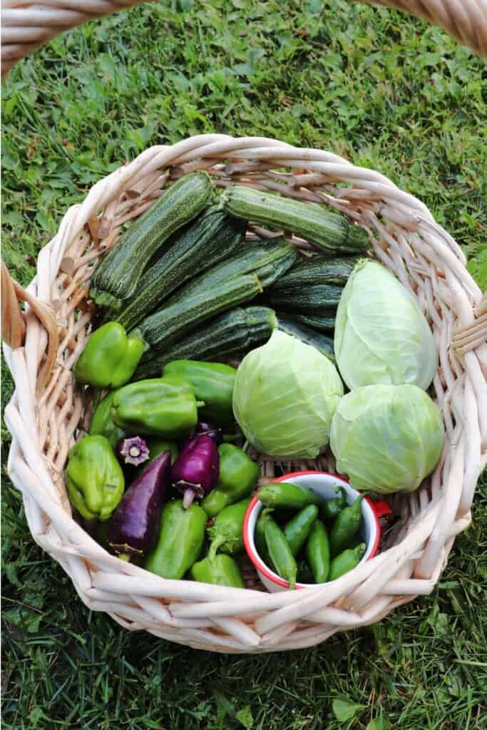 A harvest basket full of zucchini, cabbage, and peppers as seen from above.